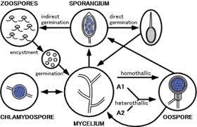 images BỆNH CHÁY LÁ KHOAI MÔN ( Phytophthora colocasiae)