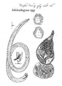 meloidogyne