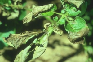 phytophthora-infestans-03